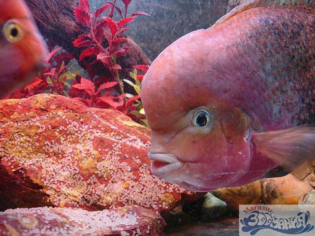 фото аквариумных рыбок хищных