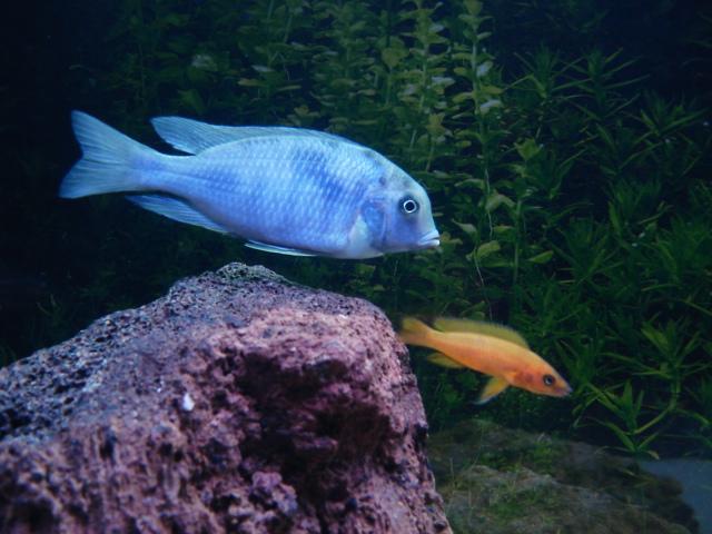 ...page=1. Голубой дельфин - размер 15-18 см. Здесь много фоток цихлид.