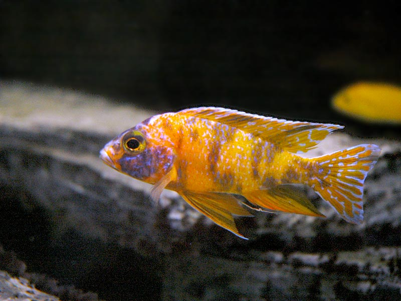 Aulonocara OB (hybrid)