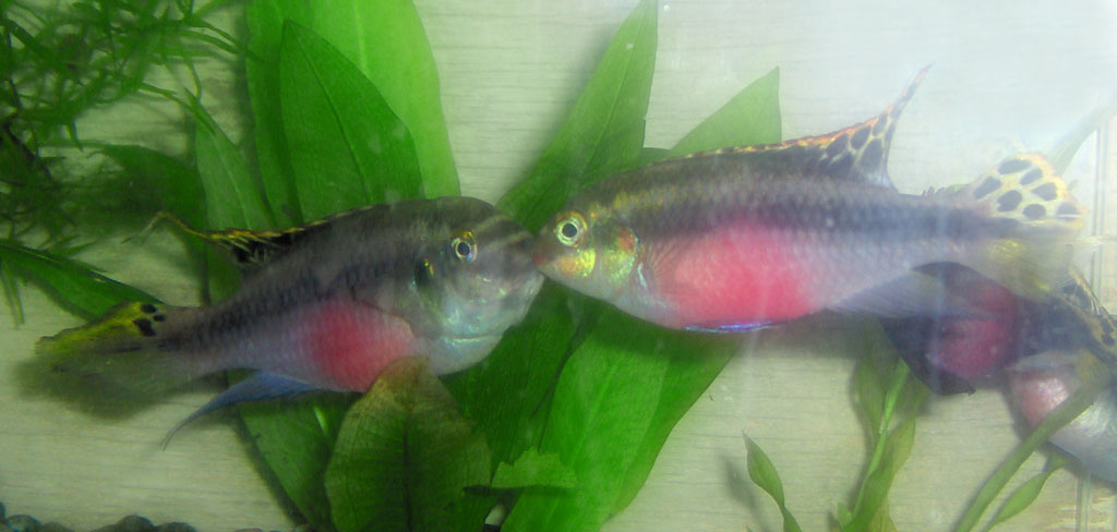 Cichlids  An Index to all the Cichlid Fish Listed in