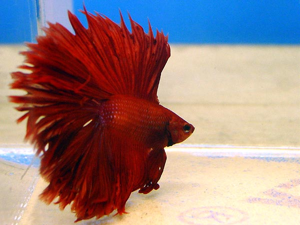 http://aqarium.ru/gallery/data/media/13/Betta-splendens-2.jpg
