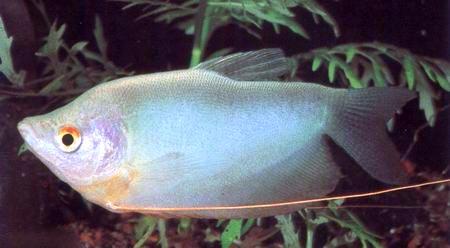 http://aqarium.ru/gallery/data/media/13/Trichogaster-microlepis.jpg
