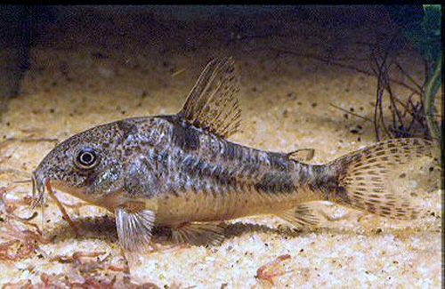 Принадлежит семейству Панцирных сомов.  В аквариумах этих...  Обсудить аквариумную рыбку Крапчатый сомик на форуме.