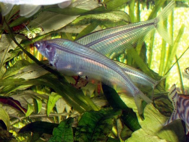 стеклянный сомик-аквариумная рыбка