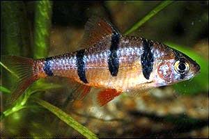 http://aqarium.ru/gallery/data/media/15/Barbus_pentasona.jpg