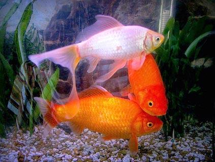 Фото беременной золотой рыбки 30