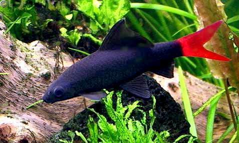 Рыбы обитают в текущих водах Таиланда.  В Европу они завезены в 1952 г...