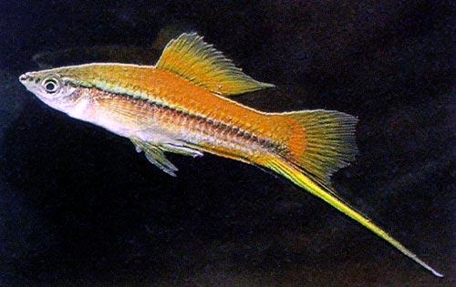 http://aqarium.ru/gallery/data/media/16/Xiphophorus---hellerii-3.jpg