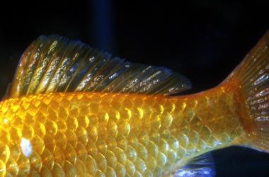 Болезни аквариумных рыб не обусловленные возбудителями.