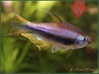 Nematobrycon-palmeri-5.jpg