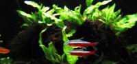 Paracheirodon-axelrodi-5.jpg