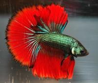 Betta-imbellis-3.jpg