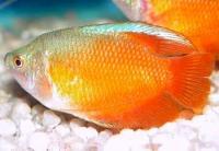 Породы аквариумных рыбок.