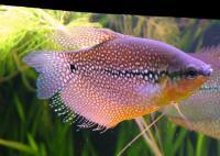 Trichogaster-leeri-3.jpg