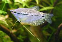 Trichogaster-leeri-5.jpg
