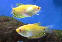 Trichogaster-trich-Gold.jpg