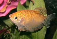 Trichogaster-trich-Gold5.jpg
