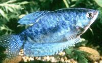 Trichogaster-trichopterus-2.jpg