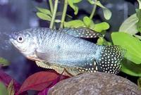 Trichogaster-trichopterus-3.jpg