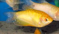 Trichogaster-trichopterus-G.jpg