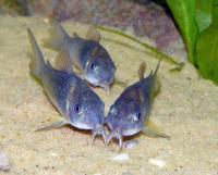 Corydoras-aeneus-7.jpg