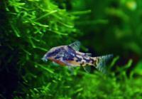 Corydoras-barbatus-3.jpg