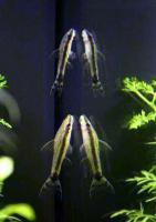 Otocinclus-affinis.jpg