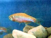 Brachydanio_albalineatus.jpg