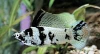 Mollinesia-latipina-4.jpg