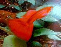 Poecilia-reticulata-2.jpg