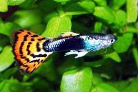 живородящие рыбки аквариумные.