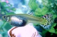 Poecilia-reticulata-5.jpg