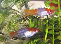 Xiphophorus-hellerii.jpg