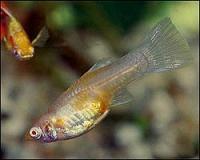 Xiphophorus-maculatus-4.jpg