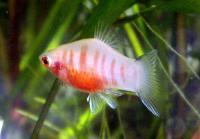 Xiphophorus-maculatus.jpg