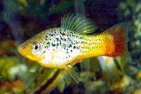 Xiphophorus-variatus-3.jpg