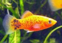 Xiphophorus-variatus-4.jpg