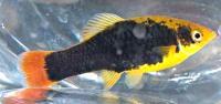 Xiphophorus-variatus-5.jpg