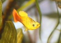 Xiphophorus-variatus-6.jpg