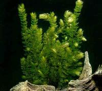 Ceratophyllum-demersum-3.jpg