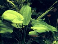 Echinodorus-horizontalis-2.jpg