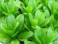 Echinodorus-parviflorus-2.jpg