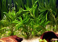 Eichornia-diversifolia-2.jpg