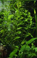 Hygrophila-polisperma-5.jpg