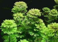 Limnophila-sessiliflora.jpg