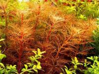 Myriophyllum-mattogrosse2.jpg