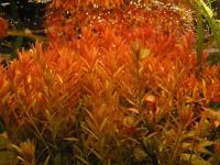 Rotala-Rotundifolia-2.jpg
