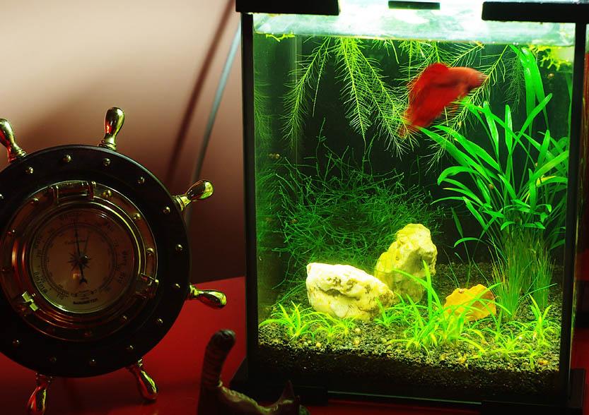akvarium-s-petushkom